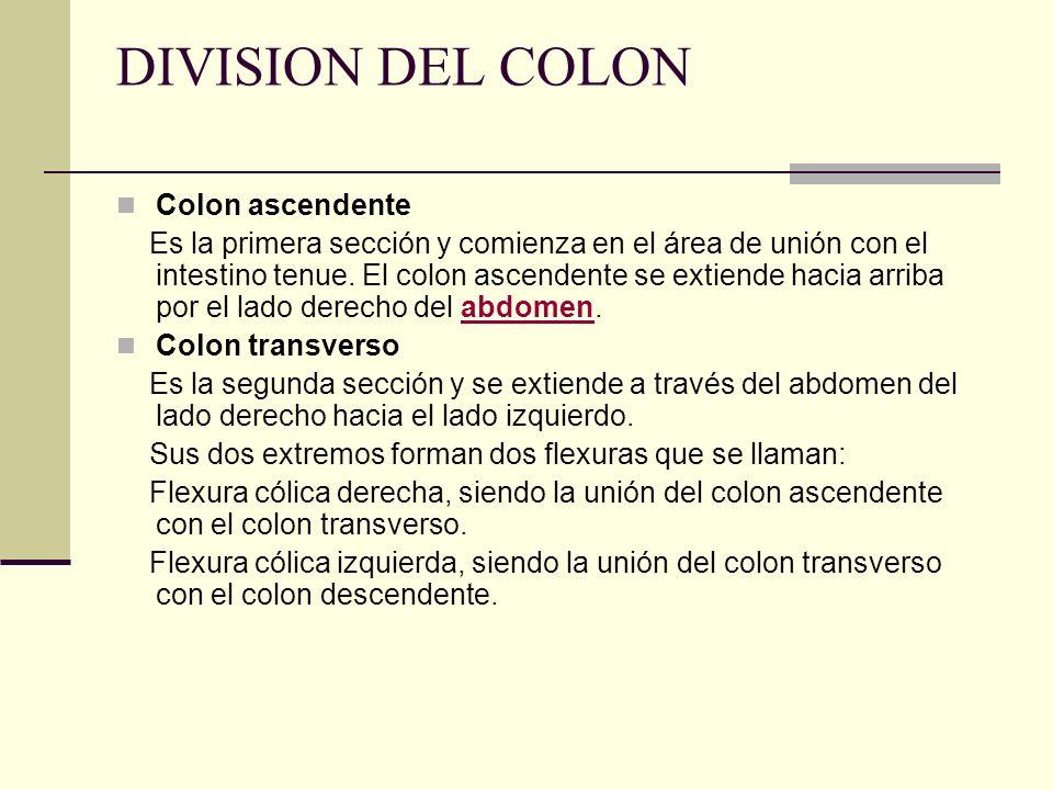 DIVISION DEL COLON Colon ascendente