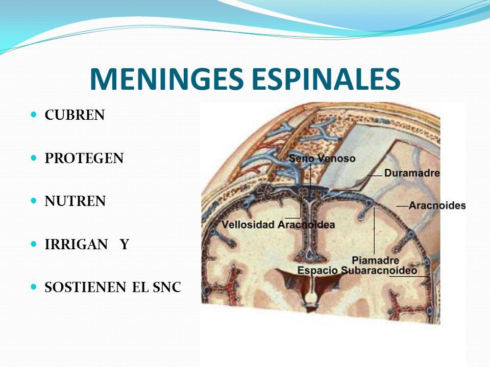 MENINGES ESPINALES CUBREN PROTEGEN NUTREN IRRIGAN Y SOSTIENEN EL SNC