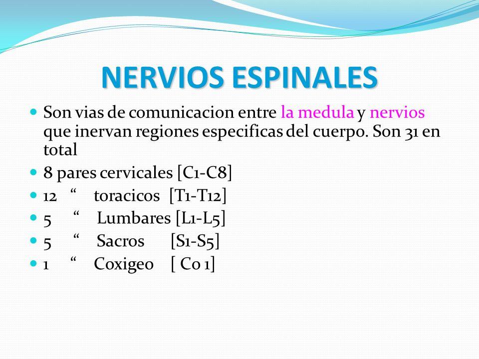NERVIOS ESPINALES Son vias de comunicacion entre la medula y nervios que inervan regiones especificas del cuerpo. Son 31 en total.