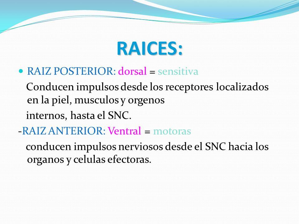 RAICES: RAIZ POSTERIOR: dorsal = sensitiva