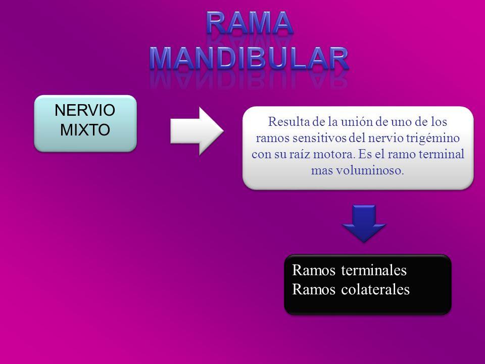 RAMA MANDIBULAR NERVIO MIXTO Ramos terminales Ramos colaterales