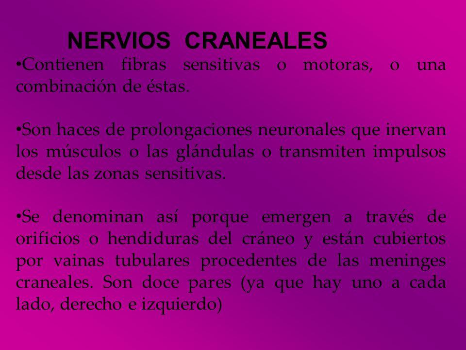 NERVIOS CRANEALES Contienen fibras sensitivas o motoras, o una combinación de éstas.