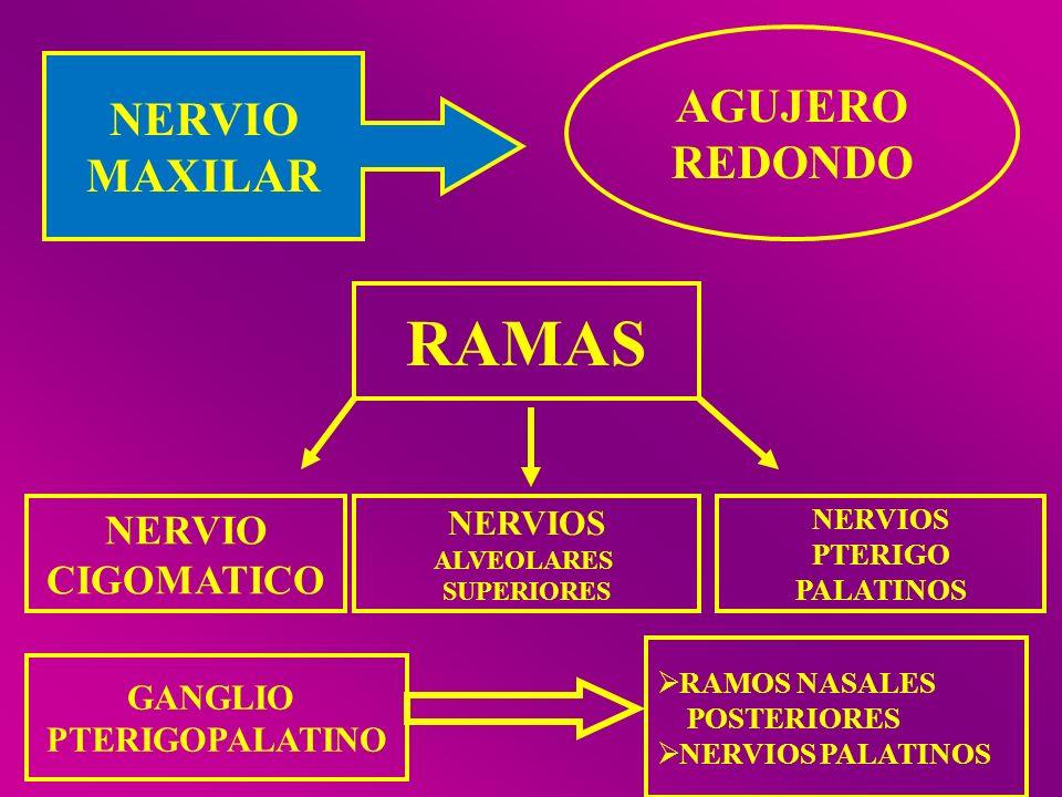 RAMAS AGUJERO NERVIO REDONDO MAXILAR NERVIO CIGOMATICO NERVIOS GANGLIO