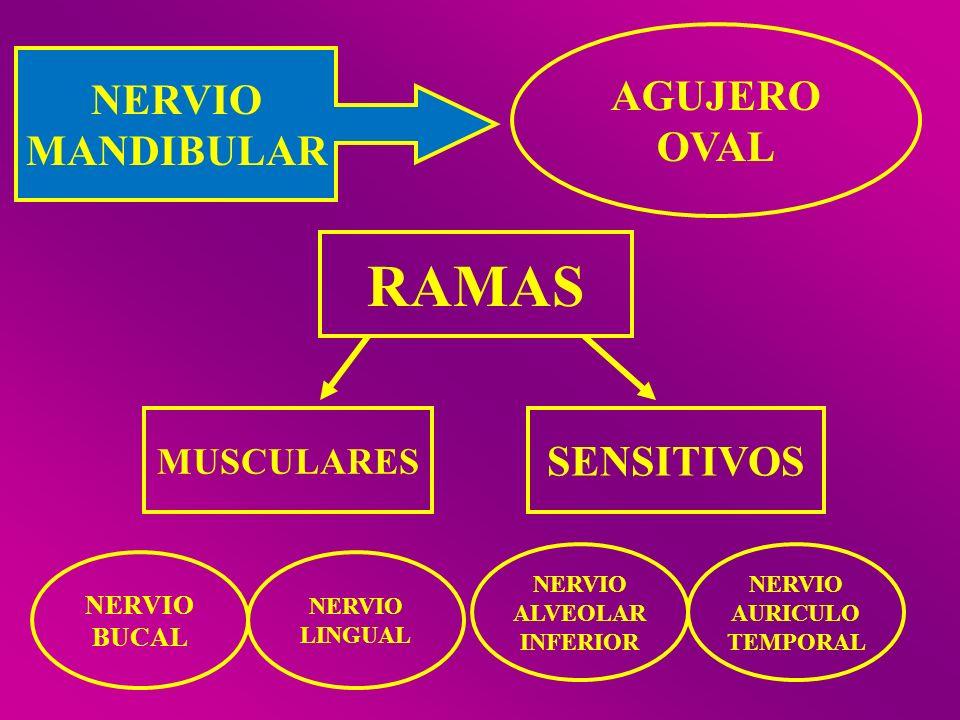 RAMAS AGUJERO NERVIO OVAL MANDIBULAR SENSITIVOS MUSCULARES NERVIO