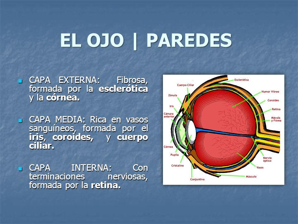 EL OJO | PAREDES CAPA EXTERNA: Fibrosa, formada por la esclerótica y la córnea.