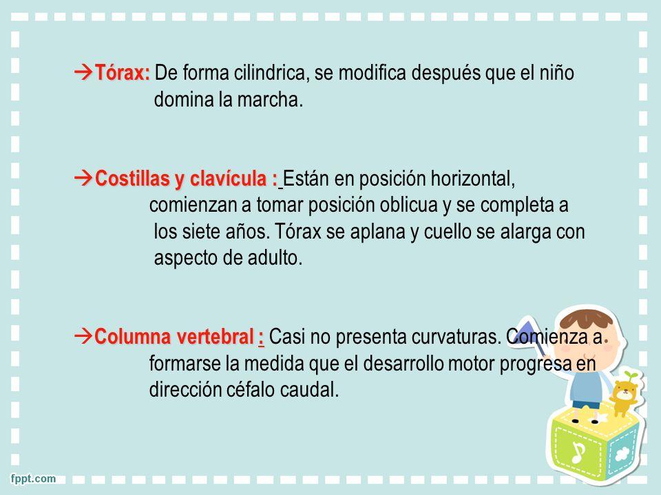Tórax: De forma cilindrica, se modifica después que el niño
