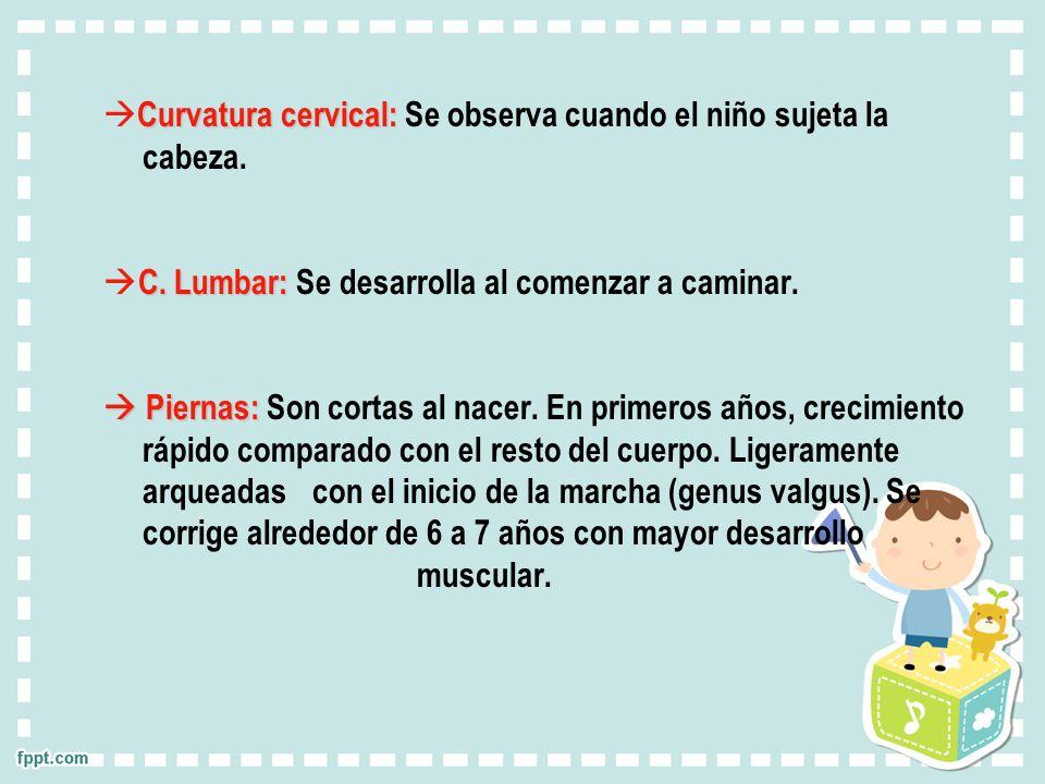 Curvatura cervical: Se observa cuando el niño sujeta la cabeza.