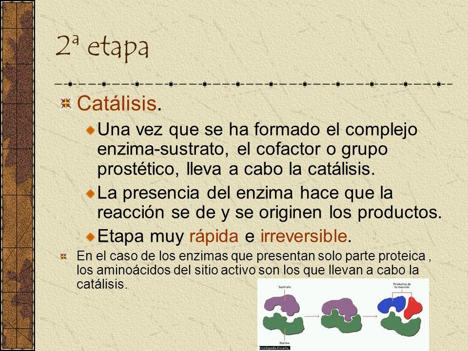 2ª etapaCatálisis. Una vez que se ha formado el complejo enzima-sustrato, el cofactor o grupo prostético, lleva a cabo la catálisis.
