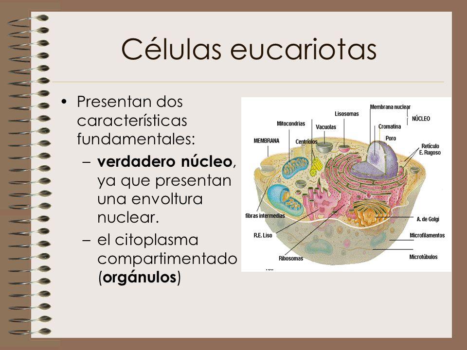 Células eucariotas Presentan dos características fundamentales: