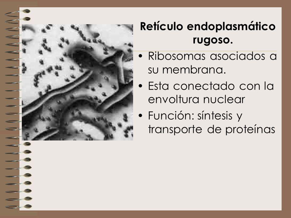 Retículo endoplasmático rugoso.