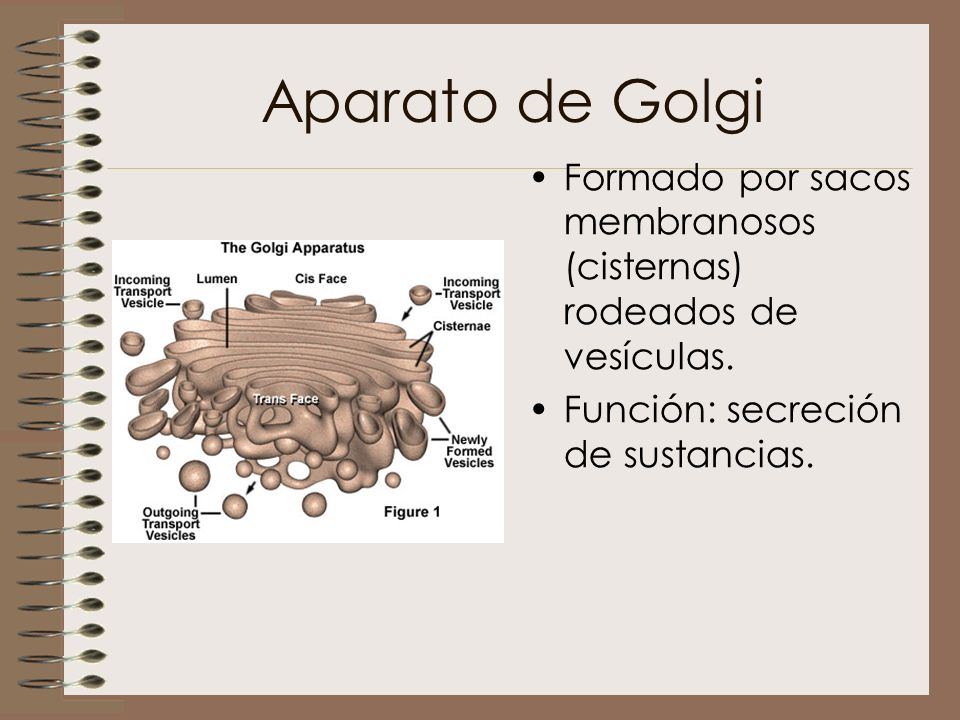 Aparato de Golgi Formado por sacos membranosos (cisternas) rodeados de vesículas.
