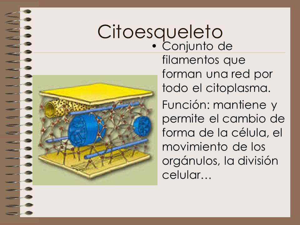 Citoesqueleto Conjunto de filamentos que forman una red por todo el citoplasma.