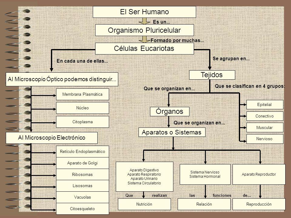 Organismo Pluricelular