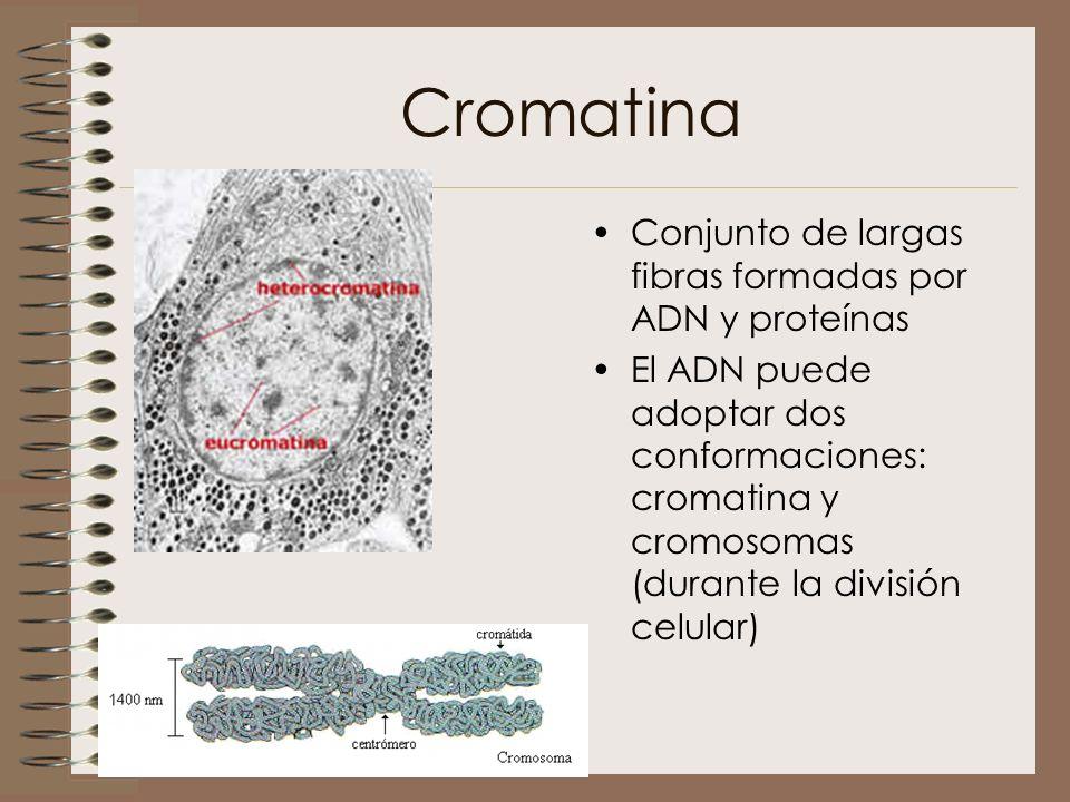 Cromatina Conjunto de largas fibras formadas por ADN y proteínas
