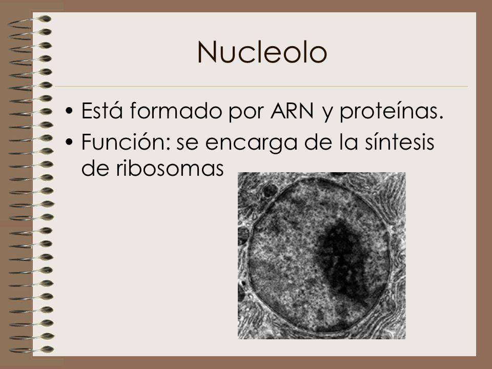 Nucleolo Está formado por ARN y proteínas.