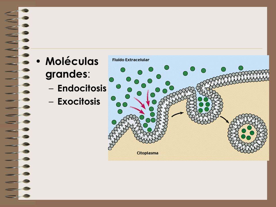 Moléculas grandes: Endocitosis Exocitosis