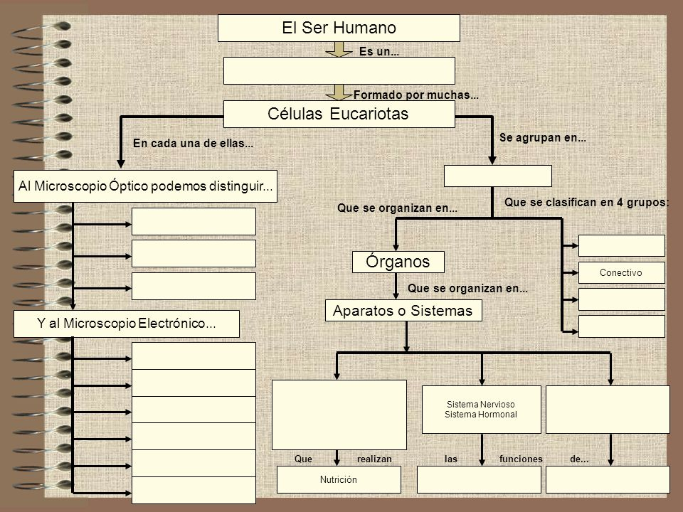 El Ser Humano Células Eucariotas Órganos Aparatos o Sistemas