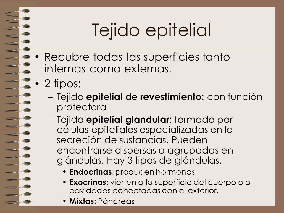 Tejido epitelial Recubre todas las superficies tanto internas como externas. 2 tipos: Tejido epitelial de revestimiento: con función protectora.