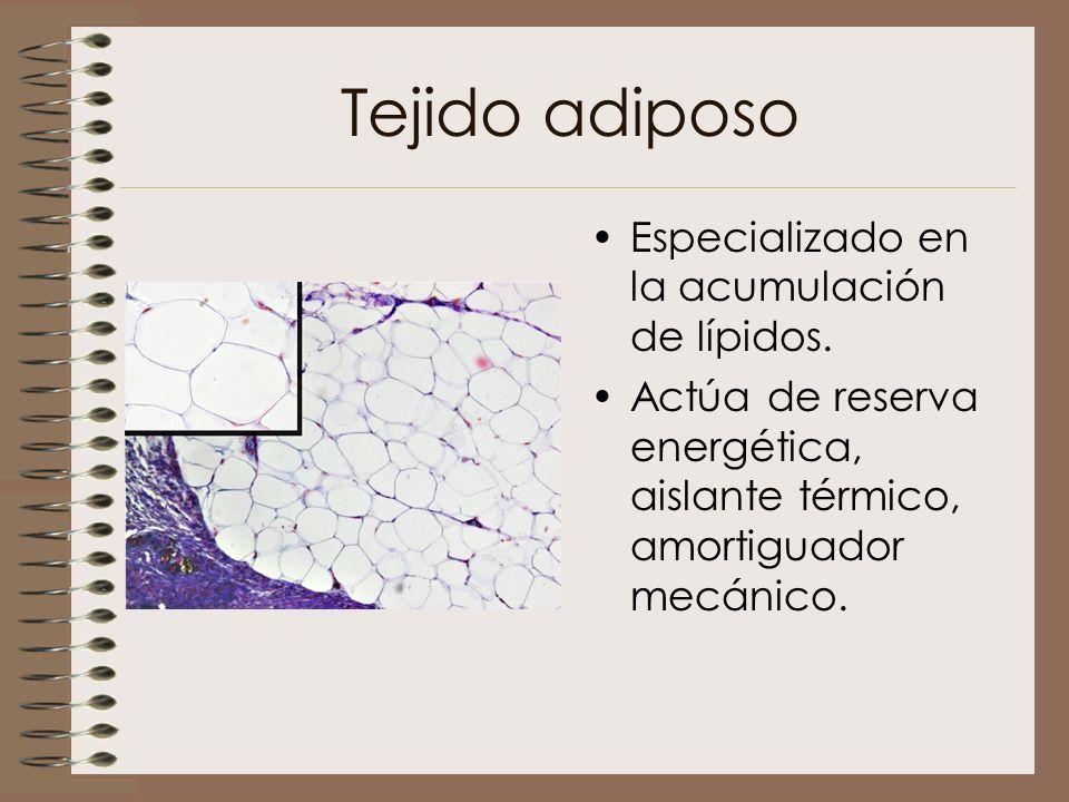 Tejido adiposo Especializado en la acumulación de lípidos.