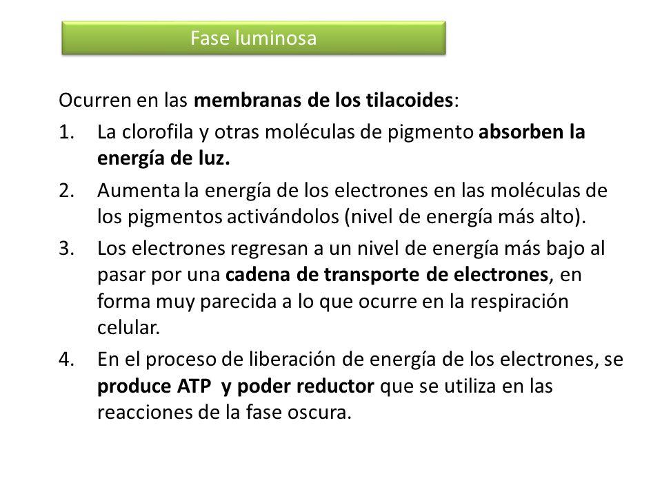 Fase luminosaOcurren en las membranas de los tilacoides: La clorofila y otras moléculas de pigmento absorben la energía de luz.