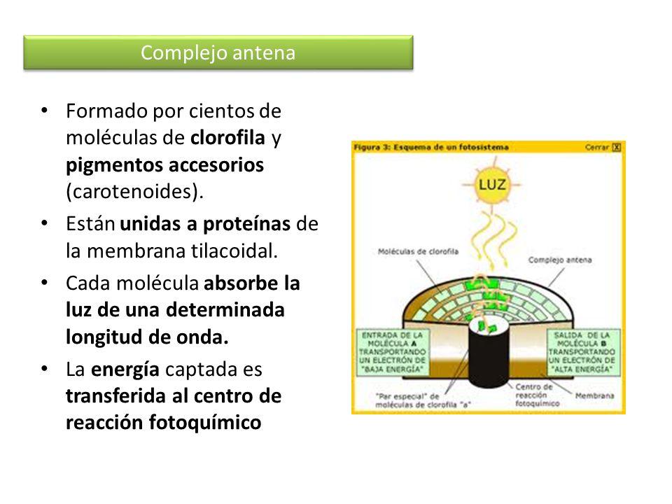 Complejo antenaFormado por cientos de moléculas de clorofila y pigmentos accesorios (carotenoides).