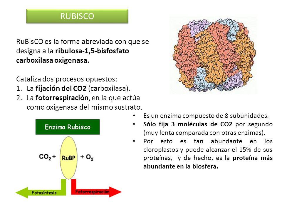 RUBISCORuBisCO es la forma abreviada con que se designa a la ribulosa-1,5-bisfosfato carboxilasa oxigenasa.