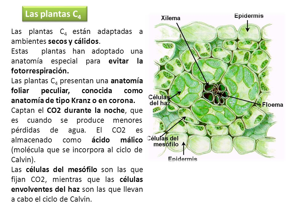 Las plantas C4Las plantas C4 están adaptadas a ambientes secos y cálidos.