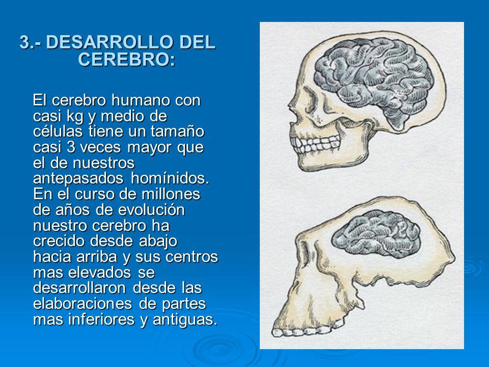 3.- DESARROLLO DEL CEREBRO: