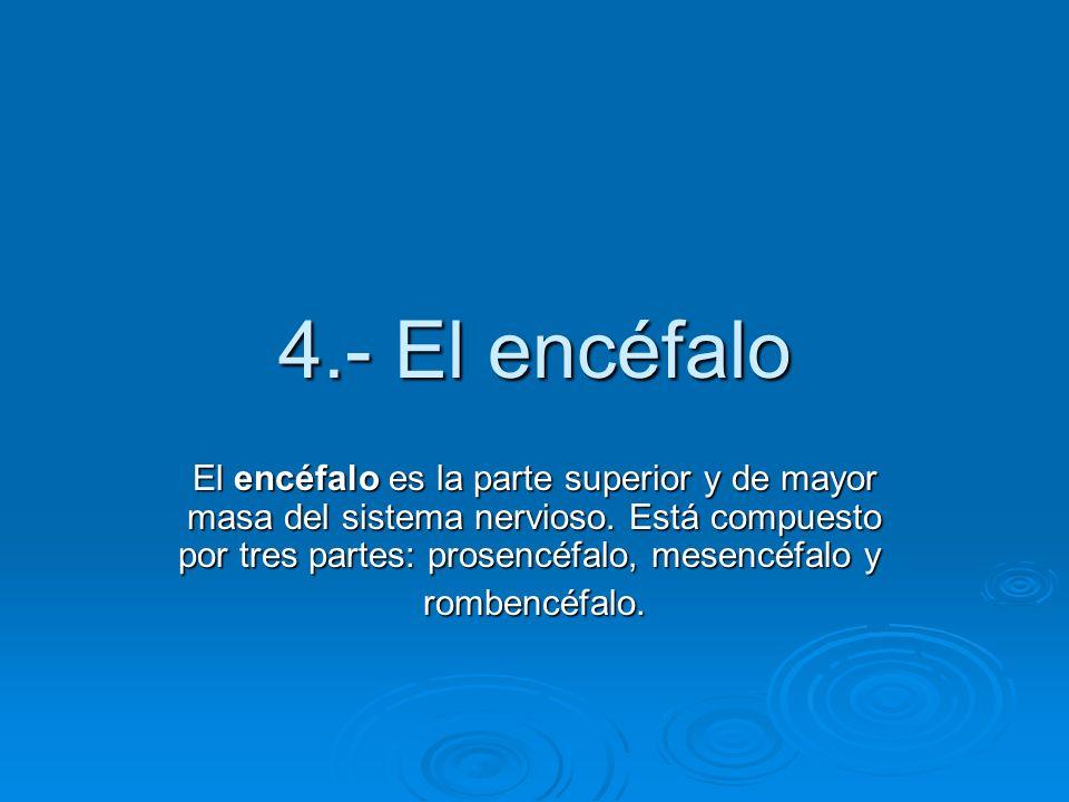 4.- El encéfalo El encéfalo es la parte superior y de mayor masa del sistema nervioso. Está compuesto por tres partes: prosencéfalo, mesencéfalo y