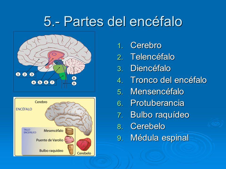 5.- Partes del encéfalo Cerebro Telencéfalo Diencéfalo