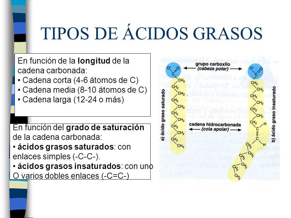 TIPOS DE ÁCIDOS GRASOS En función de la longitud de la