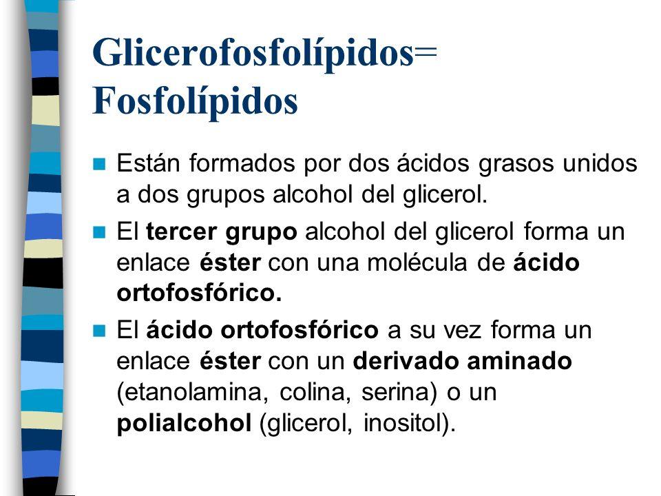 Glicerofosfolípidos= Fosfolípidos
