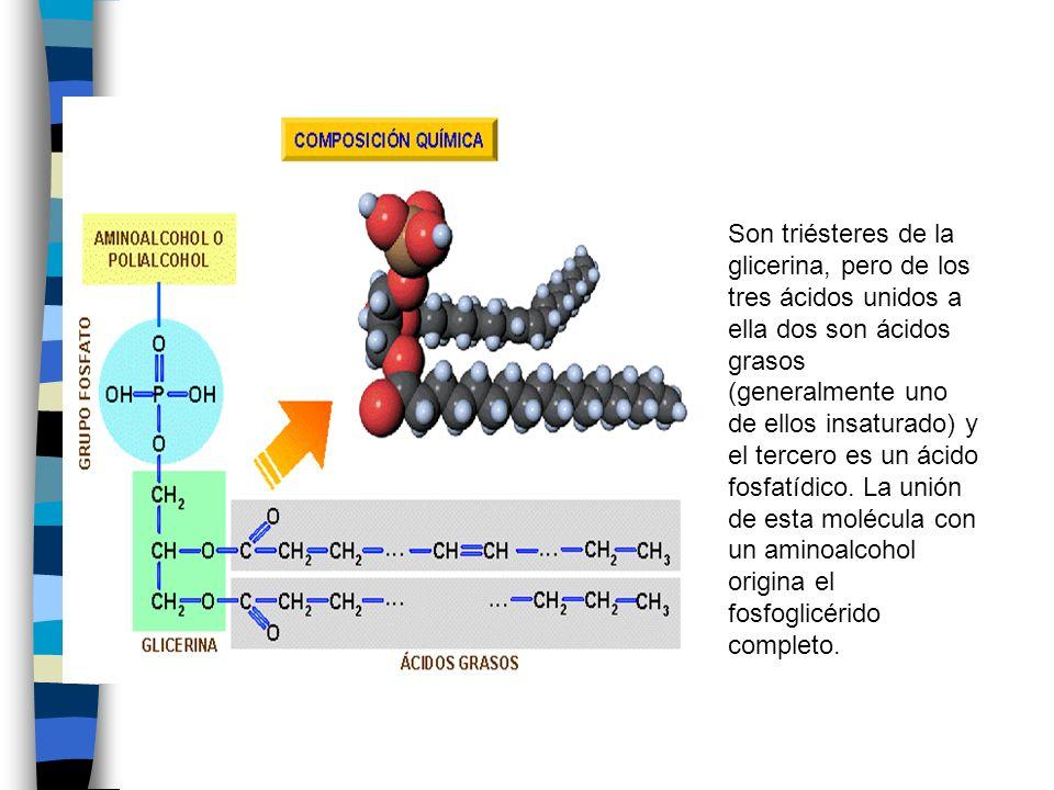 Son triésteres de la glicerina, pero de los tres ácidos unidos a ella dos son ácidos grasos (generalmente uno de ellos insaturado) y el tercero es un ácido fosfatídico.