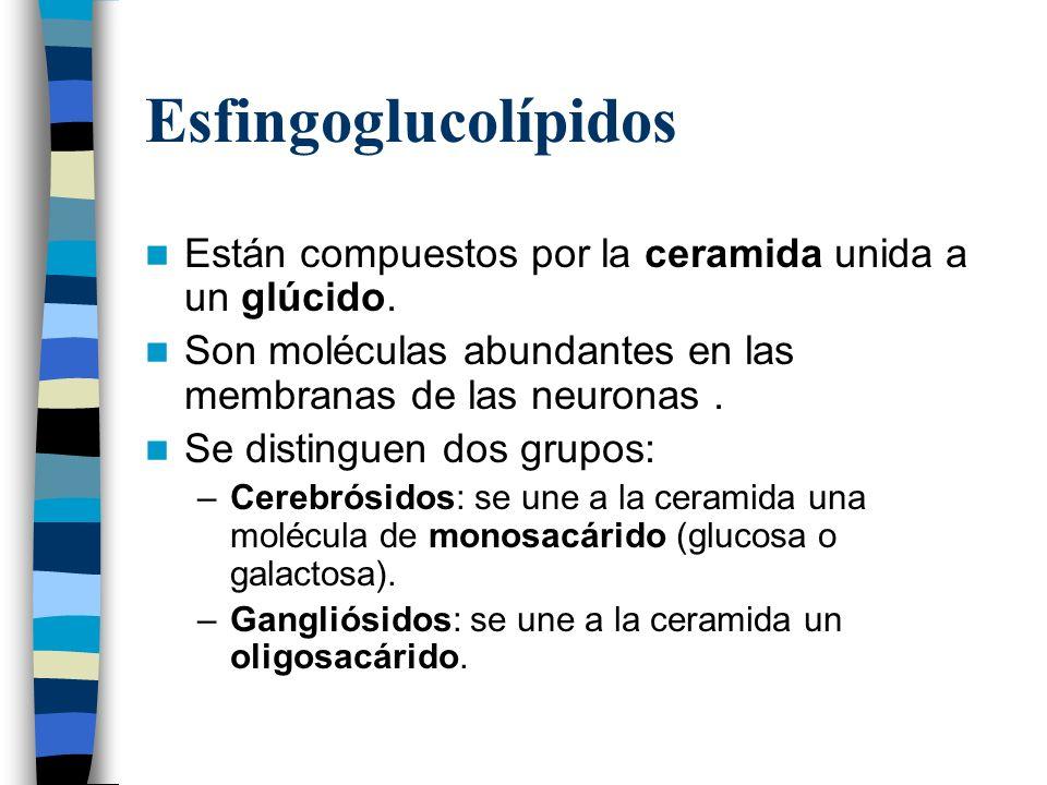 Esfingoglucolípidos Están compuestos por la ceramida unida a un glúcido. Son moléculas abundantes en las membranas de las neuronas .