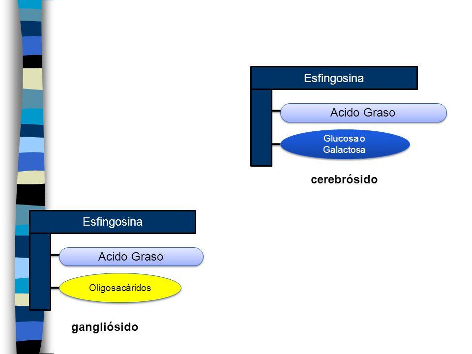 Esfingosina Acido Graso cerebrósido Esfingosina Acido Graso
