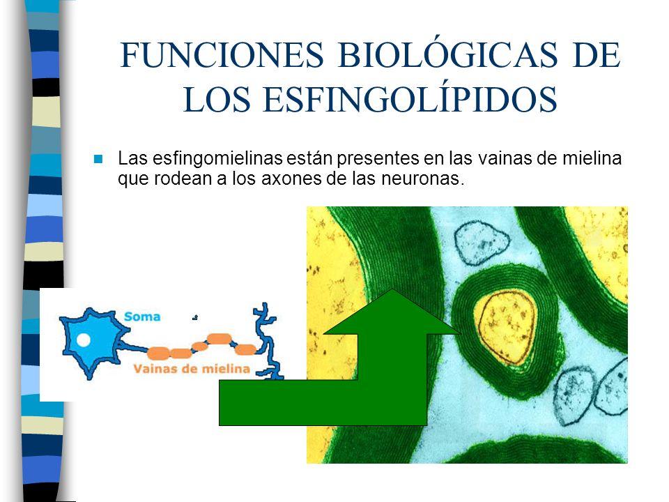 FUNCIONES BIOLÓGICAS DE LOS ESFINGOLÍPIDOS