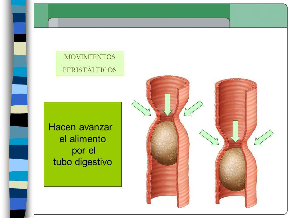 Hacen avanzar el alimento por el tubo digestivo MOVIMIENTOS