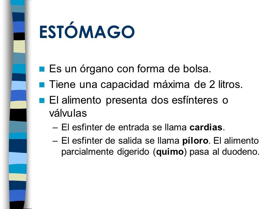 ESTÓMAGO Es un órgano con forma de bolsa.