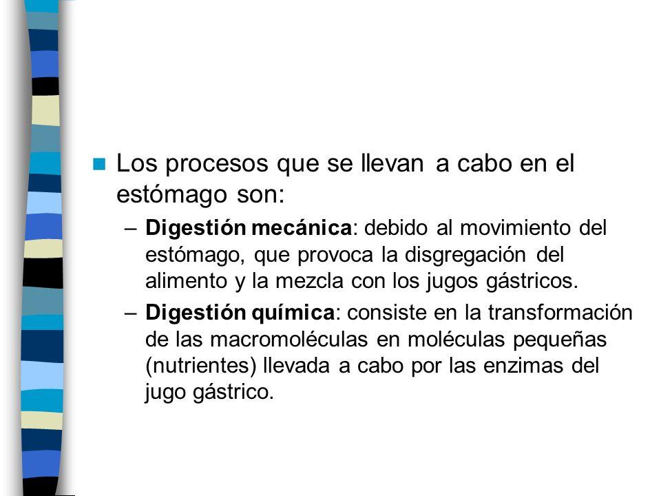 Los procesos que se llevan a cabo en el estómago son:
