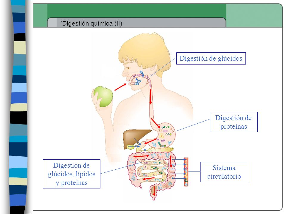 Digestión de proteínas
