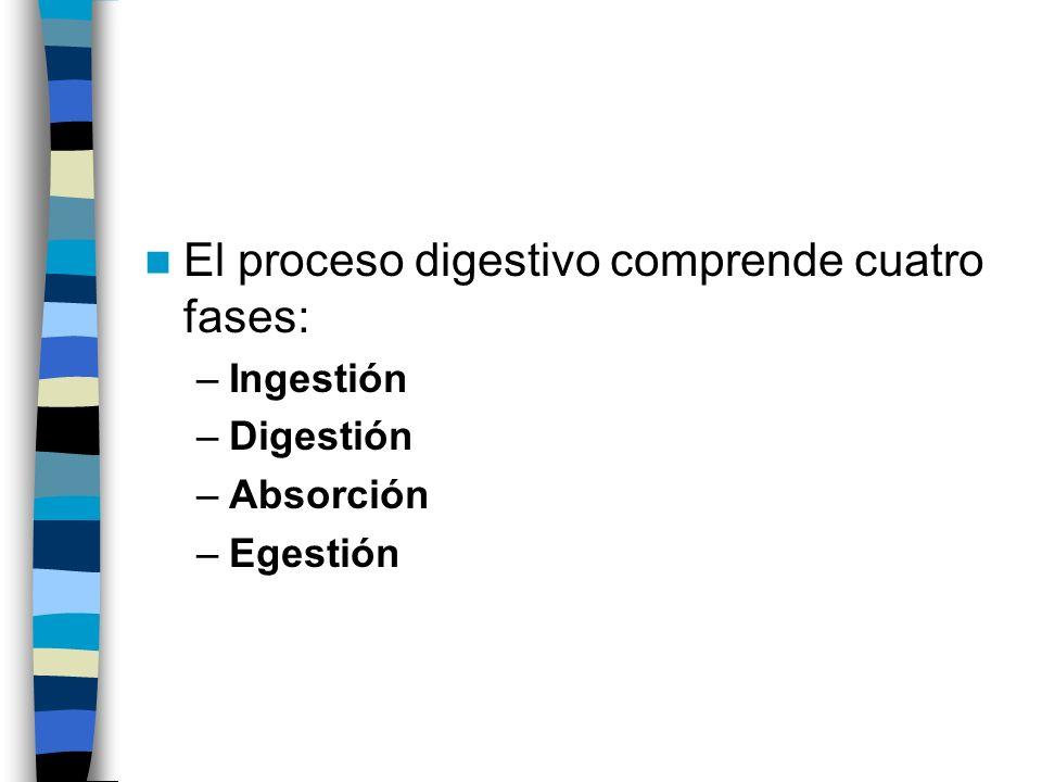 El proceso digestivo comprende cuatro fases: