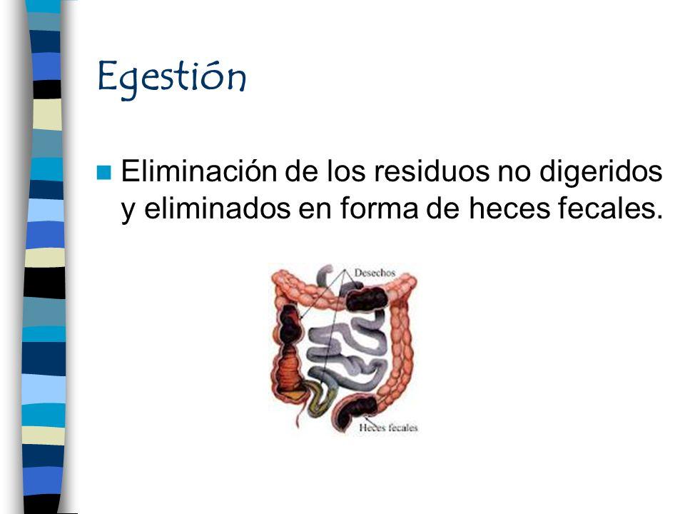 Egestión Eliminación de los residuos no digeridos y eliminados en forma de heces fecales.