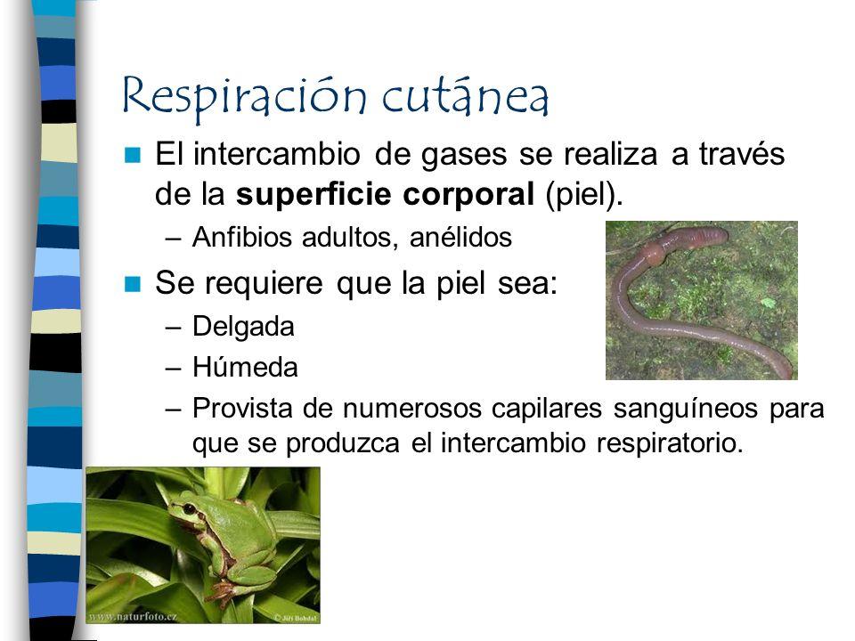 Respiración cutáneaEl intercambio de gases se realiza a través de la superficie corporal (piel). Anfibios adultos, anélidos.
