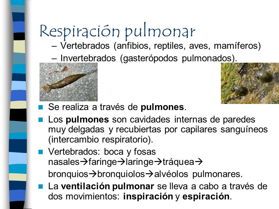Respiración pulmonar Vertebrados (anfibios, reptiles, aves, mamíferos)