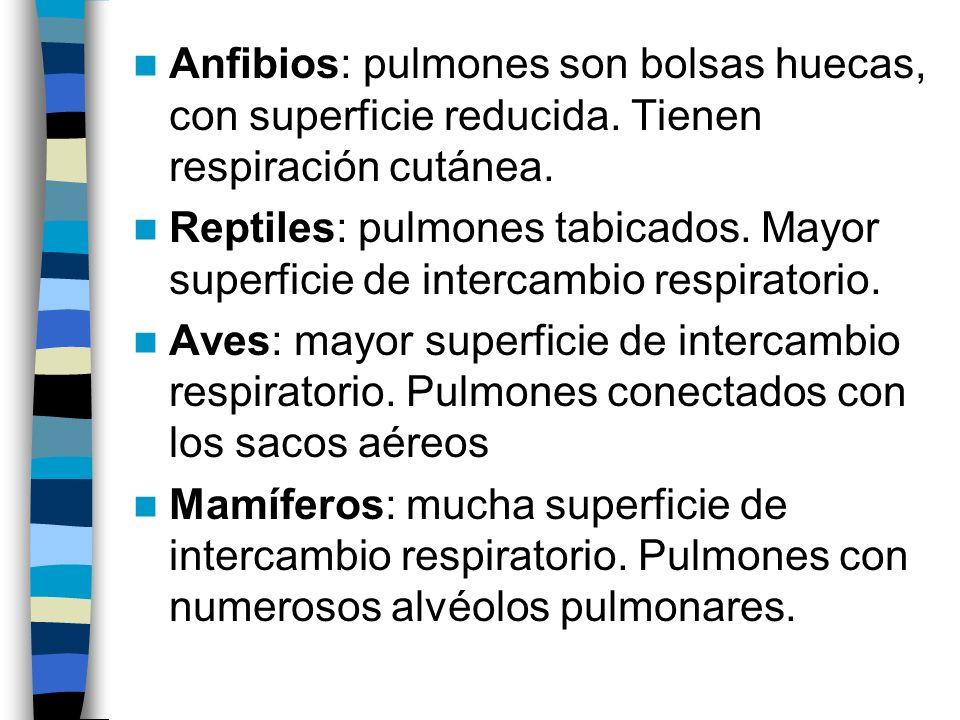 Anfibios: pulmones son bolsas huecas, con superficie reducida