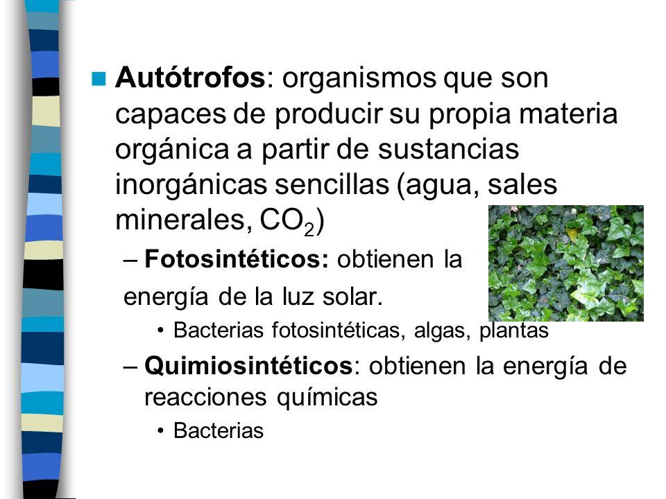 Autótrofos: organismos que son capaces de producir su propia materia orgánica a partir de sustancias inorgánicas sencillas (agua, sales minerales, CO2)
