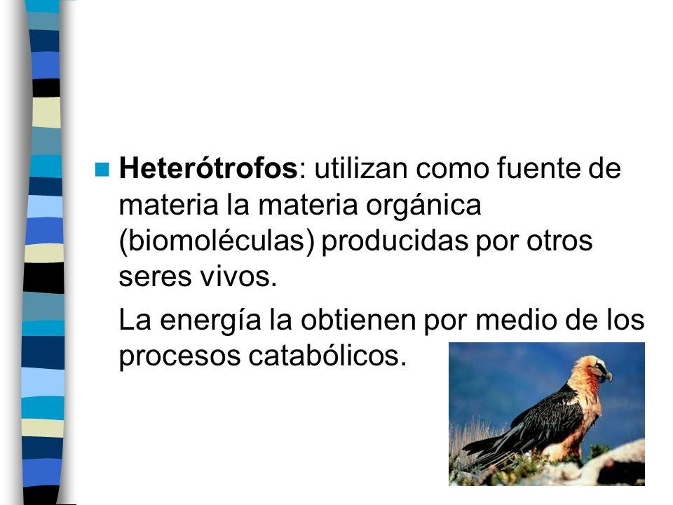 Heterótrofos: utilizan como fuente de materia la materia orgánica (biomoléculas) producidas por otros seres vivos.