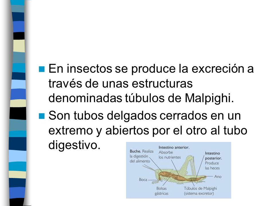 En insectos se produce la excreción a través de unas estructuras denominadas túbulos de Malpighi.