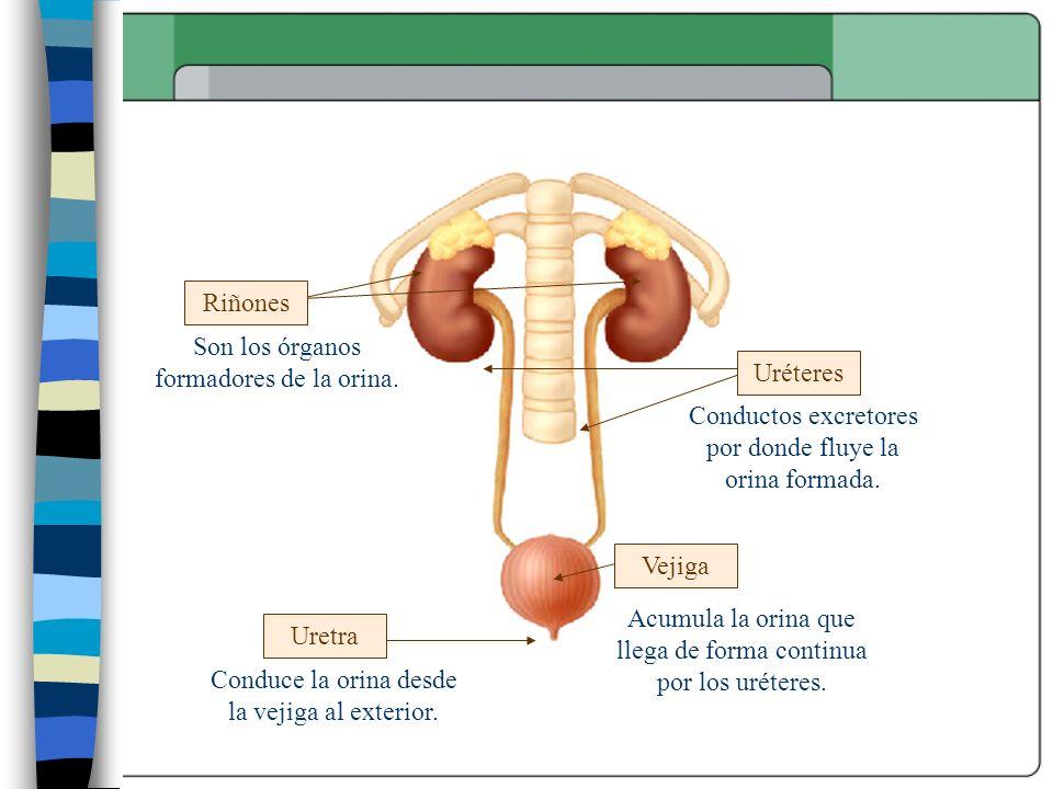 Son los órganos formadores de la orina. Uréteres