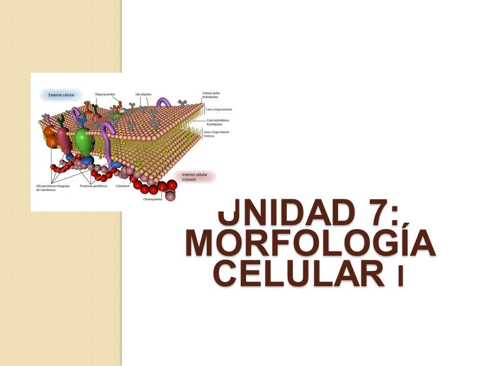 UNIDAD 7: MORFOLOGÍA CELULAR I